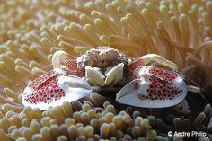 Anemone Porcelain crab (Neopetrolisthes maculatus) Nabucco Islands, Indonesia