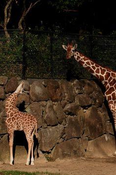 Mom, where are you? Kanazawa zoo, Yokohama, Japan