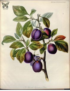 Plum 'Ickworth Imperatrice'. Prunus domestica. Illustration by Sarah Ann Drake (1842)-2
