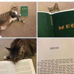 Meow man! #meow #meowmeow #bestmeow #cat #cats #kitten #kittens #lovecats #catsarethebest #lolcat #funnycat #catmeme #adoptacat #mewow #catcafe #catsandcoffee #fortheloveofcats #instacat #gato Funny Cat Memes, Funny Cats, I Love Cats, Cool Cats, Cat Tunnel, Cats Diy, Silly Cats, Most Beautiful Cat Breeds, Grumpy Cat