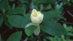 Magnolia virginiana 'Moonglow' Moonglow Sweetbay Magnolia from Prides Corner Farms Evergreen Shrubs, Flowering Shrubs, Trees And Shrubs, Hydrangea Quercifolia, Shade Shrubs, Street Trees, Fast Growing Trees, Specimen Trees, Magnolia Flower