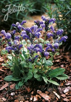 DRACOCEPHALUM grandiflorum  'Altai Blue' Portion(s)