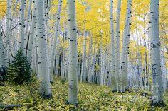 Ideas For Birch Tree Photography Nature Aspen Colorado Tree Photography, Fine Art Photography, Landscape Photography, Aspen Trees, Birch Trees, Thing 1, Rustic Wall Art, Photo Tree, Autumn Trees