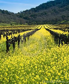 Yellow Mustard Bloom in the Californian Wine Country.