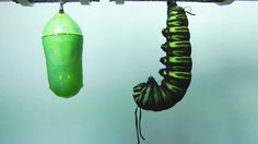 Life Cycle of the Monarch Butterfly. Late instar caterpillar feeding to pupation to eclosing from a chrysalis as a Monarch Butterfly (Danaus plexippus) Time-...