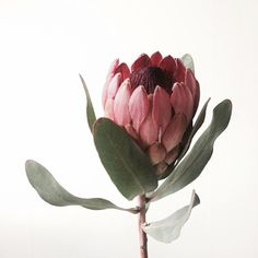 사진 설명이 없습니다. Botanical Drawings, Botanical Illustration, Botanical Art, Protea Art, Protea Flower, Exotic Flowers, Beautiful Flowers, Australian Native Flowers, Design Floral