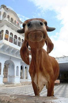 Sacred cow in #Pushkar #India