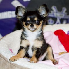 Will x Raisin - Black and Tan longcoat female Chihuahua puppy.