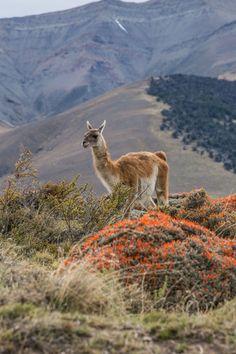 Guanaco y un arbusto rojo mata guanaco
