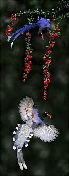 fairy-wren: Taiwan Blue Magpies (photo by johnfish) ❤Birds of a Feather❤ Pretty Birds, Love Birds, Beautiful Birds, Animals Beautiful, Cute Animals, Baby Animals, Small Birds, Funny Animals, Exotic Birds