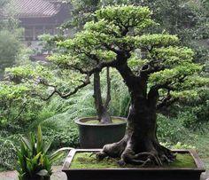 Oak Bonsai treebonsaiIdeas  : More Pins Like This At FOSTERGINGER @ Pinterest
