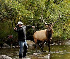 Elk 'Fishing' in Colorado