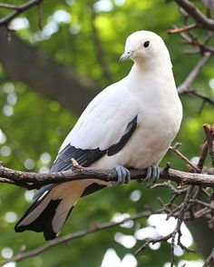 Pied Imperial Pigeon (Ducula bicolor) - ranging from Myanmar and Thailand, throughout Indonesia and east to the Philippines, and the Bird's Head Peninsula in New Guinea. It can also be found on Cape York Peninsula and the Top End in Australia. White Pigeon, Pigeon Bird, Dove Pigeon, Pretty Birds, Beautiful Birds, Animals Beautiful, All Birds, Little Birds, Dove Bird
