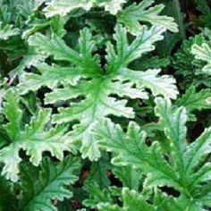 2 - Mosquito Plant - Citronella Geranium - Make you next outdoor event skeeter-free! Lush, lemony-scented plant keeps an area up to 10 sq ft. virtually mosquito-free. #mosquito #repellent