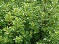 Pittosporum tenufolium 'Mountain Green'