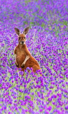 Kangaroo in purple flowers - Jacqui Barker Photography in the Flinders Ranges, South Australia