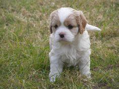 Mini Cavoodle Puppy - http://bestdogbreeds.net/mini-cavoodle-puppy/ - please visit http://bestdogbreeds.net/mini-cavoodle-puppy/, for more pictures of Mini Cavoodle Puppy