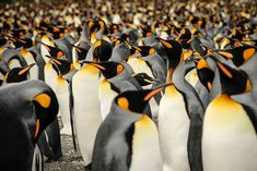 King Penguins live in large colonies in South Georgia, a speck of an island in the South Atlantic Ocean and just below the Antarctic Convergence