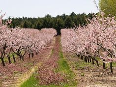 """Peach Orchard in Bloom"" by BarbL"