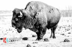 Bison photographed at CFB Wainwright Bison, Cow, My Favorite Things, Photography, Animals, Photograph, Animaux, Photography Business, Photoshoot