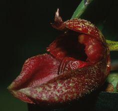 Macro of Bulbophyllum frostii