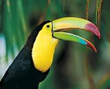 Keel-billed Toucan (Ramphastos sulfuratus) Costa Rica, Central America to South America Tropical Birds, Exotic Birds, Colorful Birds, Pretty Birds, Beautiful Birds, Animals Beautiful, Vida Animal, Mundo Animal, Funny Bird