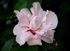 Refined Rose-of-Sharon