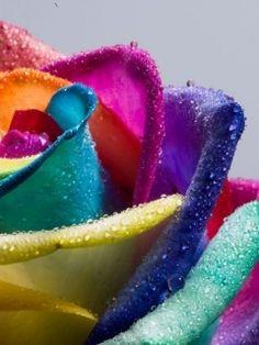 Download Rainbow Rose Mobile Wallpaper | Mobile Toones