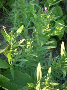 Hyssop herb seeds 50 heirloom seeds by YelowHorseMercantile