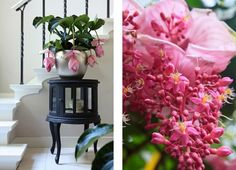 Watch out, Mr. Orchid, there's a new houseplant in town! The medinilla magnifica has been climbing the ranks of popularity since it was int...