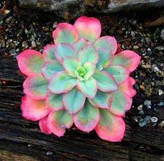 Echeveria Rainbow Sunset