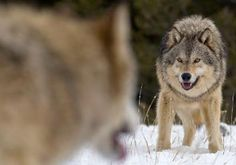 A federal court judge has ordered the U.S. Fish and Wildlife Service to immediately return wolves in the Great Lakes region to the federal endangered species list, making it illegal for Michigan citizens to kill wolves attacking livestock or dogs.