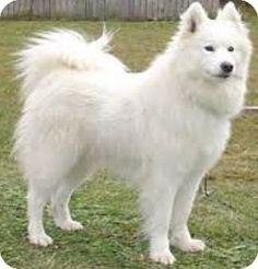 4/19/15 Aurora, CO - Samoyed. Meet Sam the Samoyed, a dog for adoption. http://www.adoptapet.com/pet/12796850-aurora-colorado-samoyed