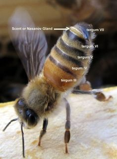 Bee Informed Partnership = scientific research data on bees. Honey bee worker showing Nasanov gland Bee Facts, Bee Hive Plans, Raising Bees, Bee Boxes, Bee Do, I Love Bees, Bees And Wasps, Mundo Animal, Busy Bee