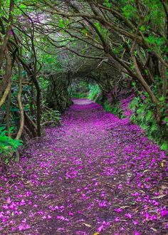 Kenmare, Co. Kerry - The Jewel in the Ring of Kerry - Natural Rhododendron tunnels in Reenagross Park, Kenmare, Ireland - Places To Travel, Places To Go, Beautiful Places, Beautiful Pictures, Beautiful Beautiful, Amazing Photos, Beautiful Flowers, Tree Tunnel, Photos Voyages