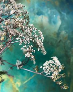 Queen Anne's lace - nothing else quite says British summer in the same way! FLOWERS by EiLeen Ting ( British Summer, Long Weekend, Photo And Video, Videos, Floral, Flowers, Plants, Photos