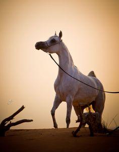 Rashida Al Zobair  (Alzeer Al Rayyan x Rayhana Al Zobair) Straight Egyptian Mare foaled November 02, 2009 See the pedigree