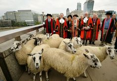 The Lord Mayor of the City of London herds his sheep across London Bridge as a part of an ancient ritual.