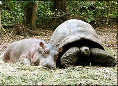 Owen and Mzee--hippo orphaned by tsunami adopted by tortoise