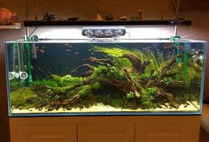 """simonsaquascapeblog: """" Favourites: tank by Nghia Beo A beautiful set up using mangrove driftwood. It still needs to mature a bit, but you can already see its potential, right? """""""
