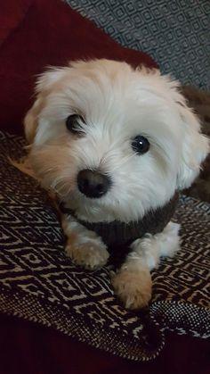 My #maltese dog Gisele