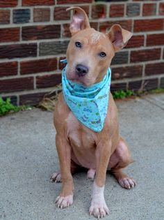 TO BE DESTROYED - 11/16/14 Brooklyn Center -P My name is TIMOTHY aka TIMONTHY. My Animal ID # is A1019735. I am a male tan and white pit bull mix. The shelter thinks I am about 8 MONTHS old. I came in the shelter as a OWNER SUR on 11/05/2014 from NY 11208, owner surrender reason stated was DESTRUCTIV. https://www.facebook.com/Urgentdeathrowdogs/photos/a.611290788883804.1073741851.152876678058553/903416076337939/?type=3&theater
