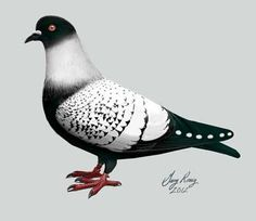 Starling Pigeon Standard