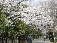 Cherry Blossoms 4...This season, Japanese admire the cherry blossoms.