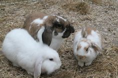 Its been a great week for bonding - with a few instant buddies  Rebus & McCall have hopped off with their new big bro Elmo - as soon as they met you would think they have always known each other! Good Luck in your new home X Another successful rabbit re homing by Buddies Bunnies Rescue.