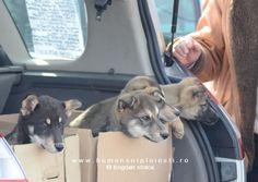 Humans of Ploiesti Email, Husky, Animals, Animales, Animaux, Animal, Animais, Husky Dog, Dieren