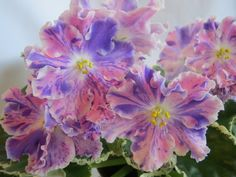 Perennial Flowering Plants, Perennials, Exotic Flowers, Amazing Flowers, Saintpaulia, Sweet Violets, Types Of Flowers, Day Lilies, Plant Care