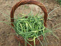 Чеснок – это огородная овощная культура, обладающая острым вкусом и необычайно сильным едким запахом. Относится к семейству луковичных растений. В древности применялся и как приправа в пищу, и как сре...