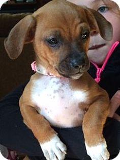 Keyport, NJ - Miniature Pinscher/Terrier (Unknown Type, Medium) Mix. Meet Lady Roxy, a puppy for adoption. http://www.adoptapet.com/pet/12808575-keyport-new-jersey-miniature-pinscher-mix