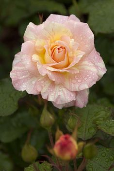 'April Moon' | Shrub Rose. Dr. Griffith J. Buck (United States, 1984) | Flickr - © Photo by Ivo M. Vermeulen